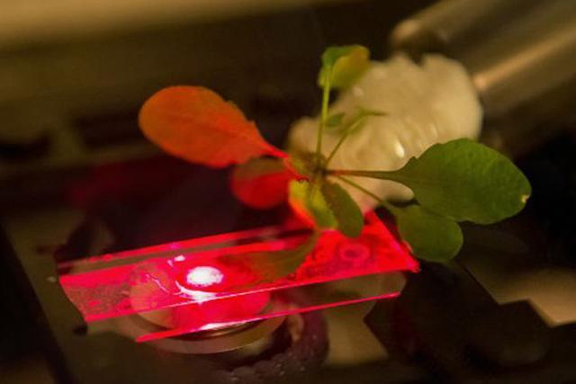 麻省理工测试可为家用电器充电的超级植物-内容详情-玩意儿