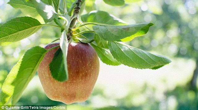 科学家计划把维基百科写入苹果树DNA中