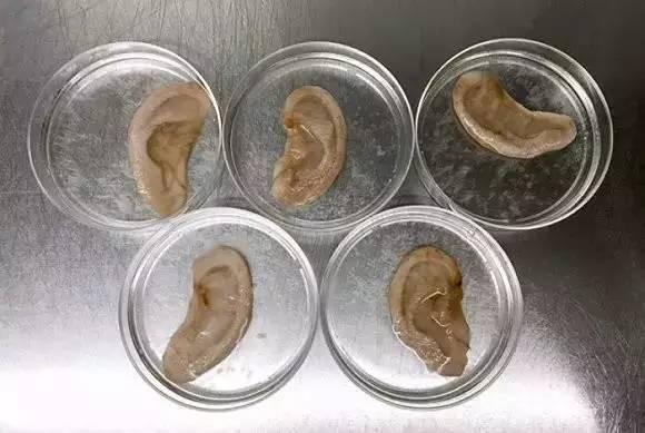 医学黑科技 用苹果培育人耳朵