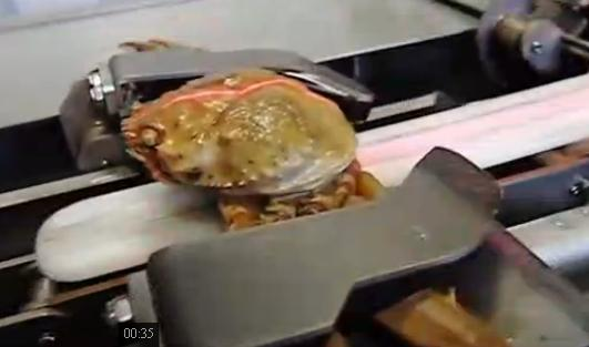德国全自动螃蟹生产流水线