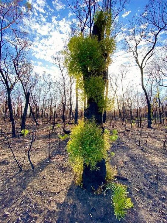 澳洲森林大火过后重新恢复生机,完全不需人类拯救